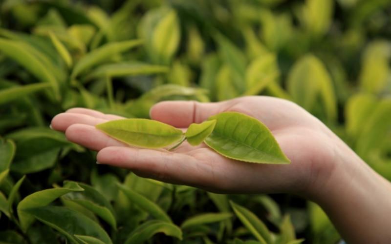 Herbal shisha leaves